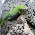 Day Gecko.jpg