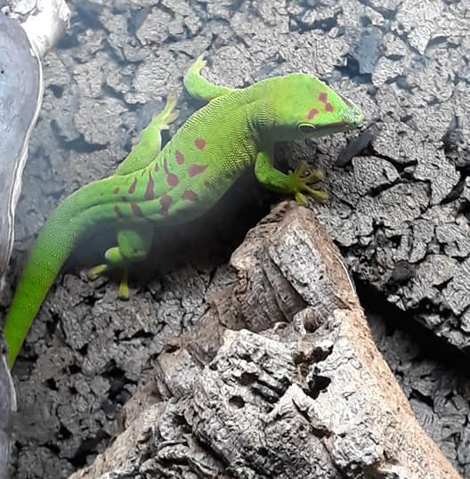 Day Gecko.jpg