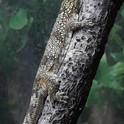 Chameleon Gecko.jpg