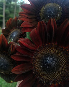 I take my sunflowers with a side of dusk