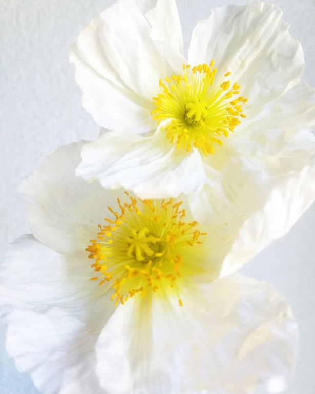 Icelandic poppies and their tissue paper
