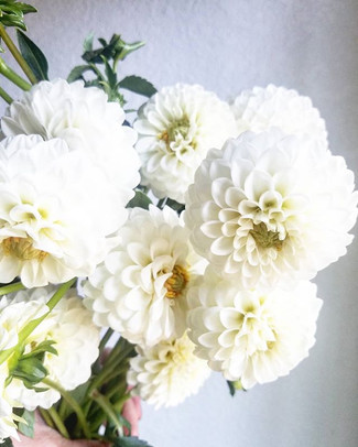 Who likes fluffy clouds of dahlias_ 🙋_.
