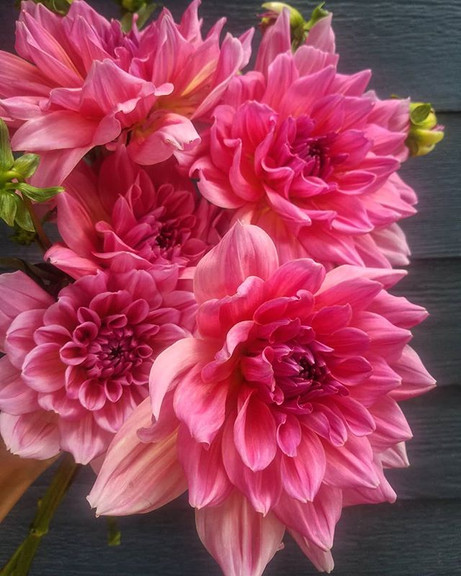 You guys sick of dahlias yet_ Good me ei