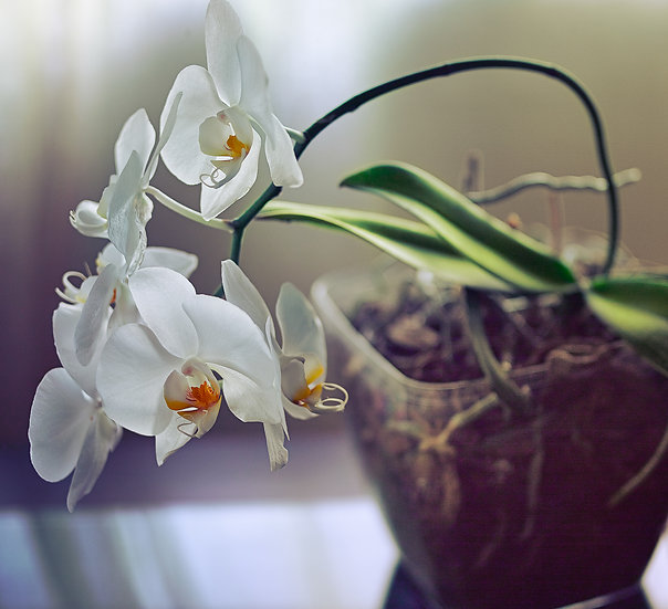 Fine Art _ Orchidea
