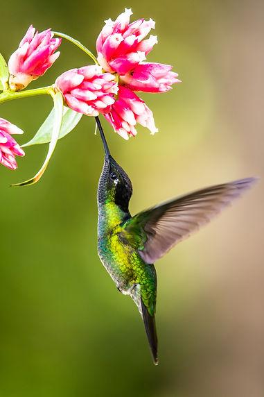 Blue hummingbird Violet Sabrewing flying