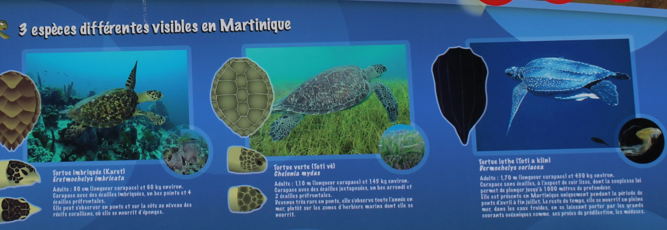 tortue Anse Dufour.