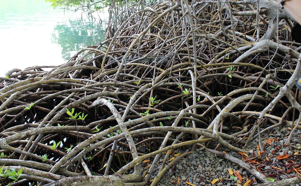 Mangrove Trou cochon ,Pointe du Vauclin