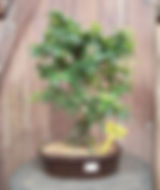 Bonsai 🌳 #ecocasaejardim #bonsaibrasil
