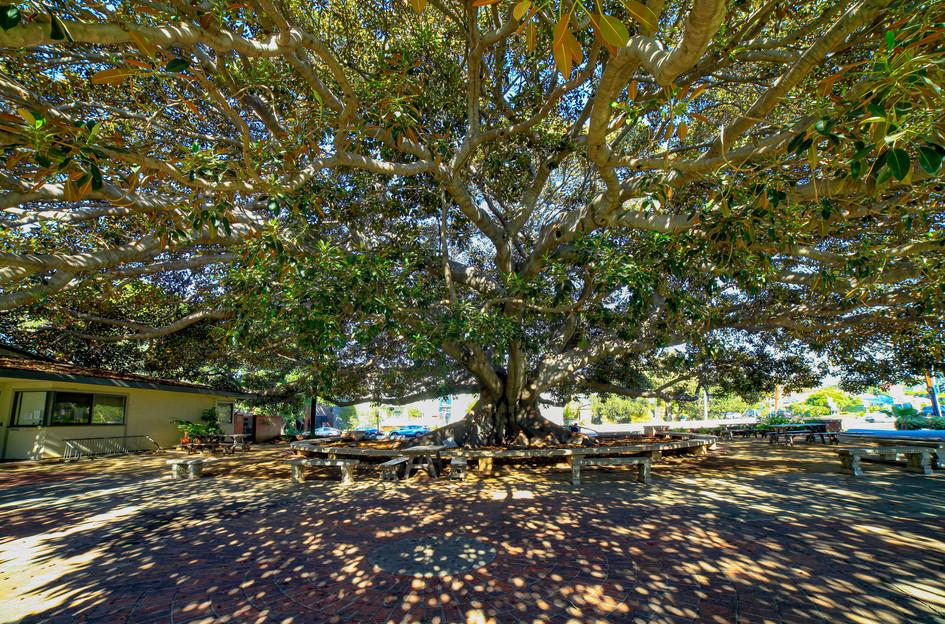 Historical tree in front of St. John's Nursery School.
