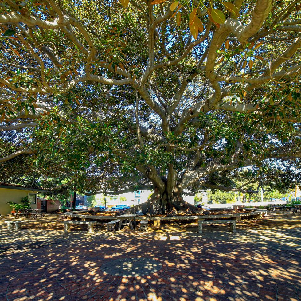 Historical tree in front of St. John's Nursery School