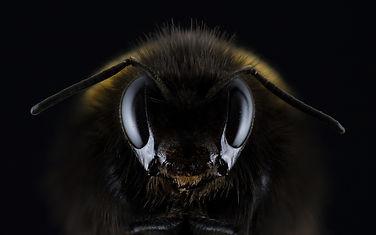 insectes-abeille-noir.jpg