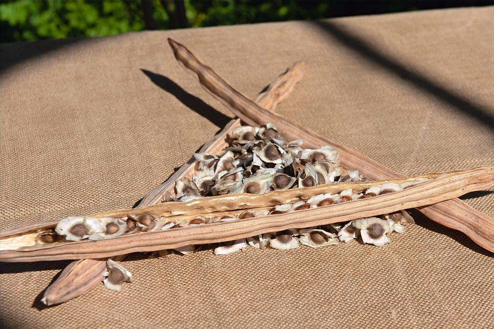 Semillas de Moringa Canaria NaturaLeaf