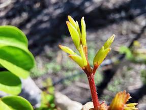 Componentes de Moringa Oleifera; Los Polifenoles -  Neutralizadores de Radicales Libres.