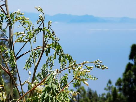Could Moringa Reduce Third World Malnutrition?