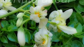 Moringa Oleifera contra COVID-19?