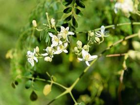 Componentes de la Moringa oleífera: Zeatina – La fuente de juventud.