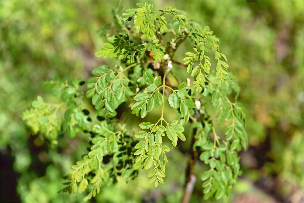 Las hojas de Moringa Canaria NaturaLeaf; ricas en la zeatina.