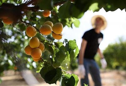 apricot-picking.jpg