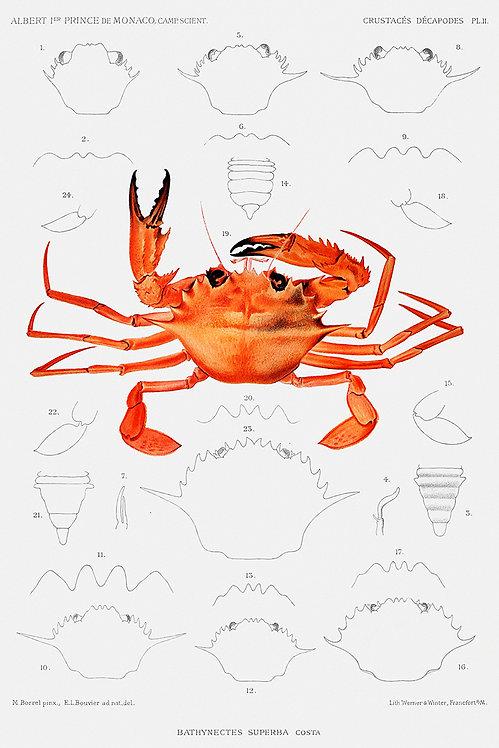 Crab_A3003