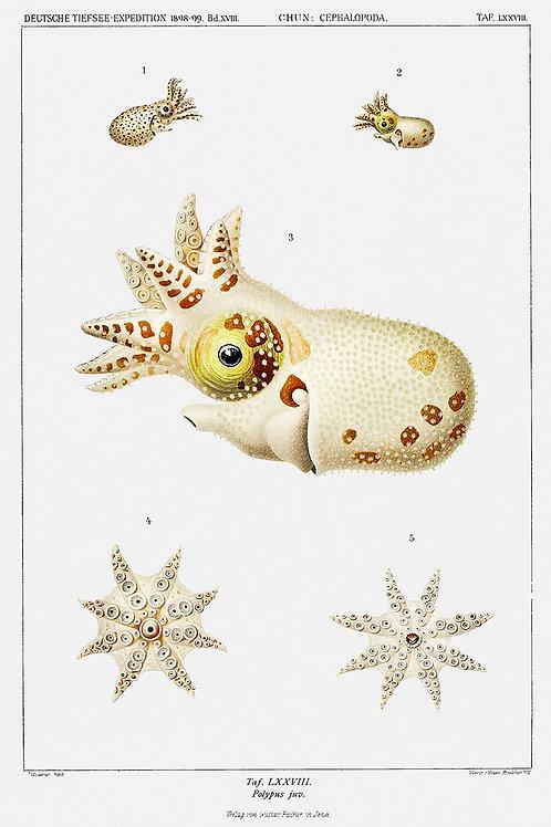 OctopusSquid_A3020