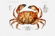 Crabs & Shrimps