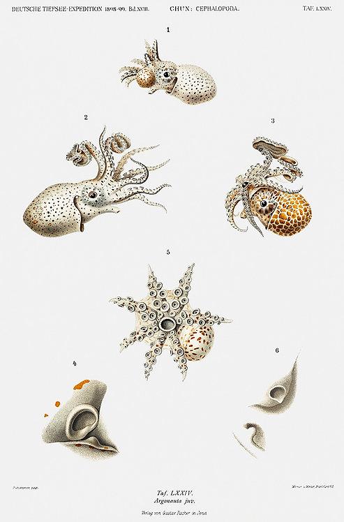 OctopusSquid_A3010