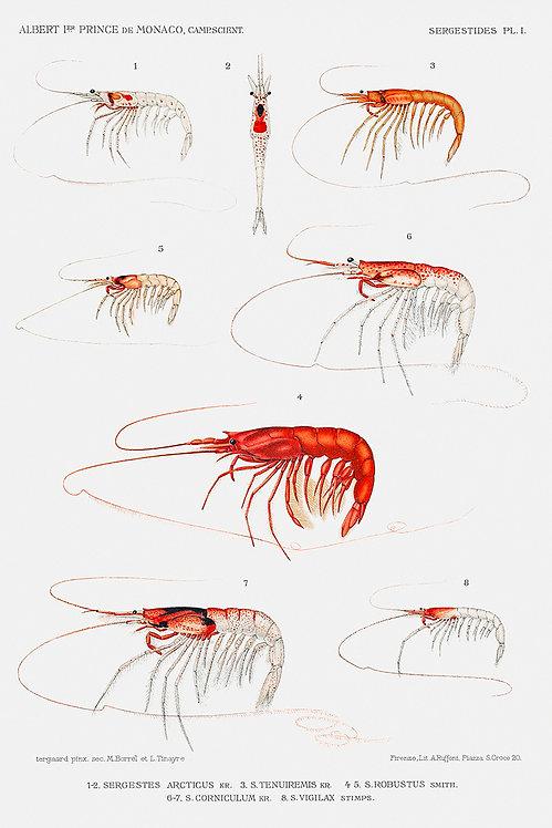 Shrimp_A3005