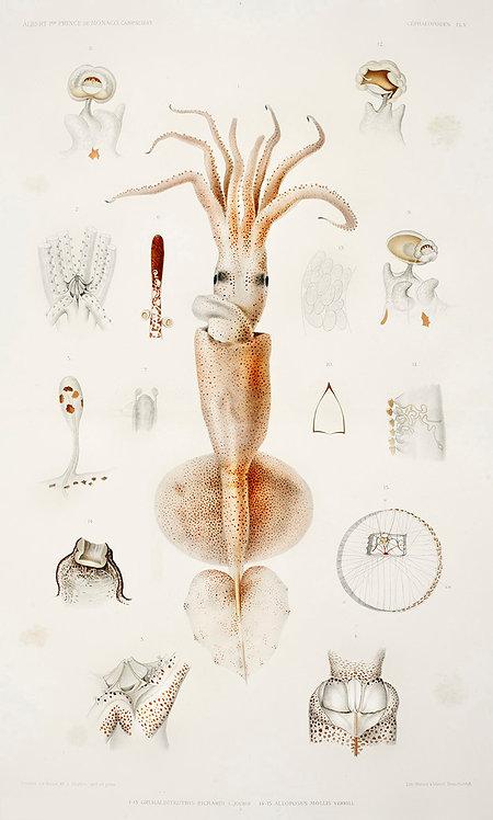 OctopusSquid_A3012