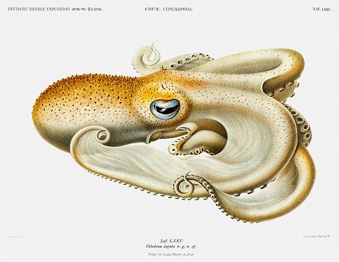 OctopusSquid_A3022
