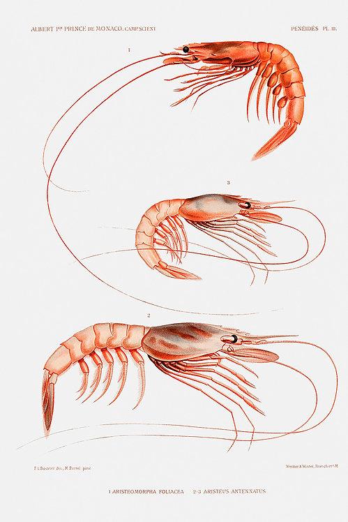 Shrimp_A3007