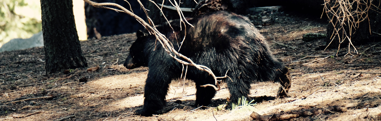 Sequoia Park - black bear