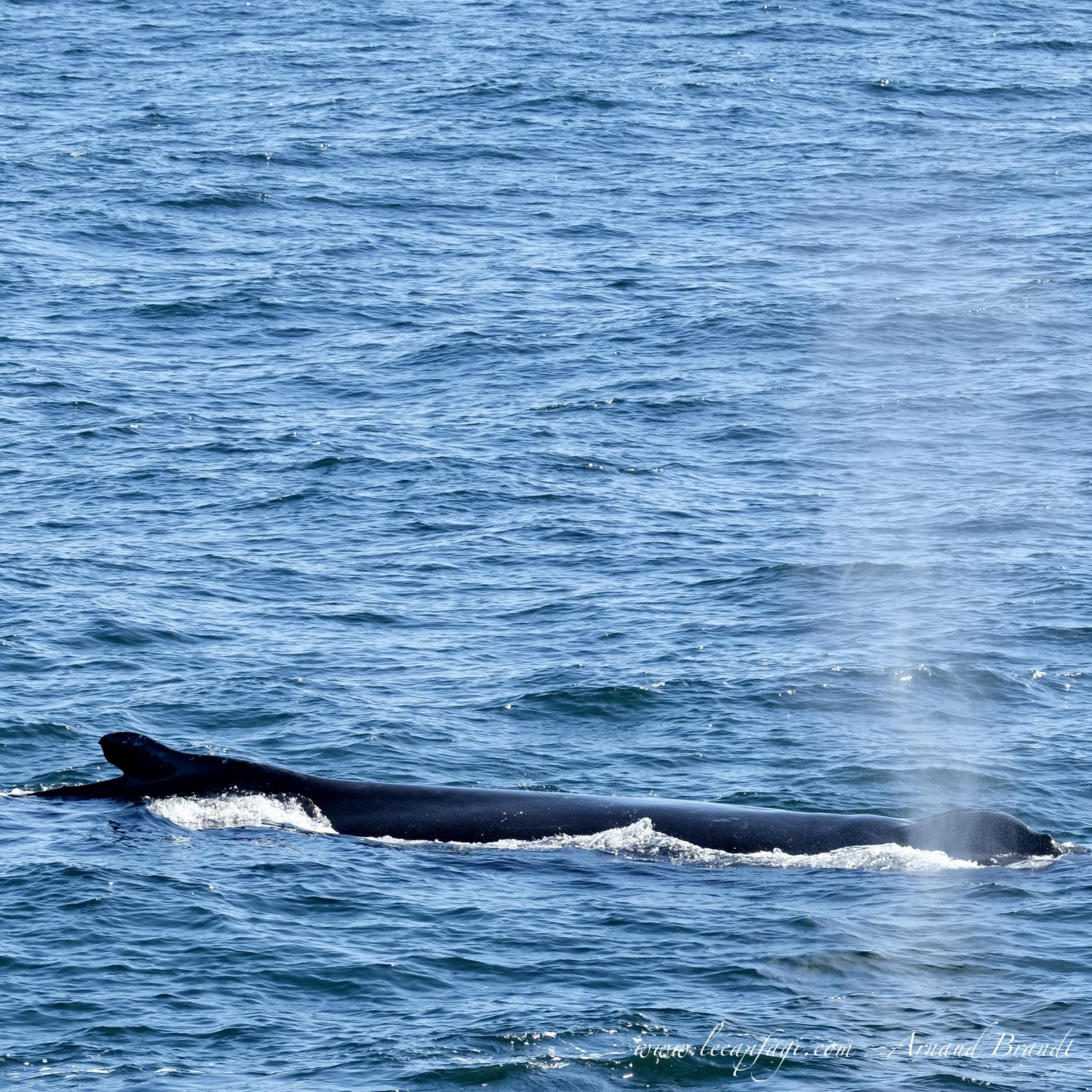 Boston - Hunchback Whale