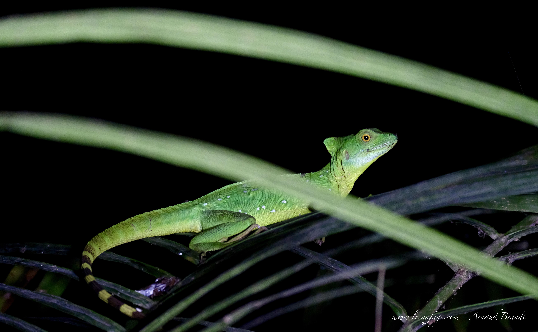 Selva Verde - Basilisc