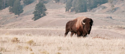 Yellowstone - Lamar Valley - Bison