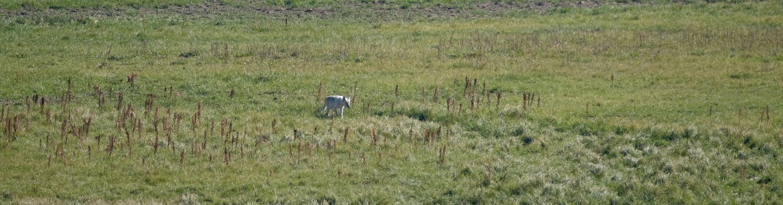 Yellowstone - Heyden Valley - Loup