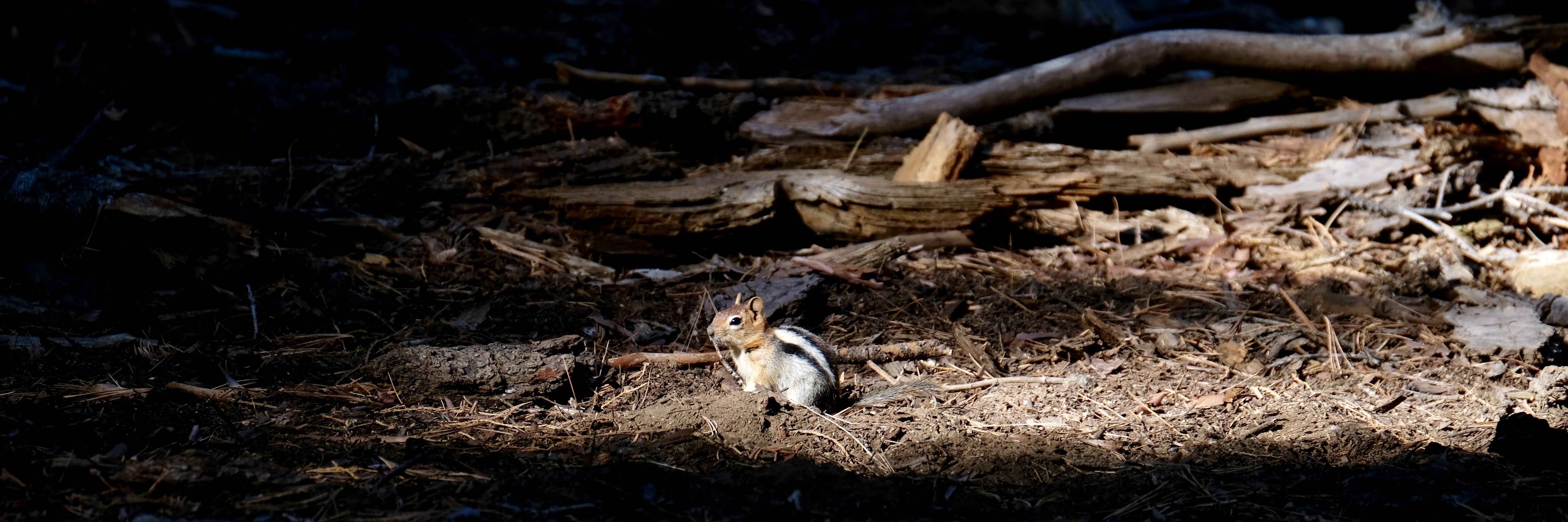 Sequoia Park - Alvin le Chipmunk