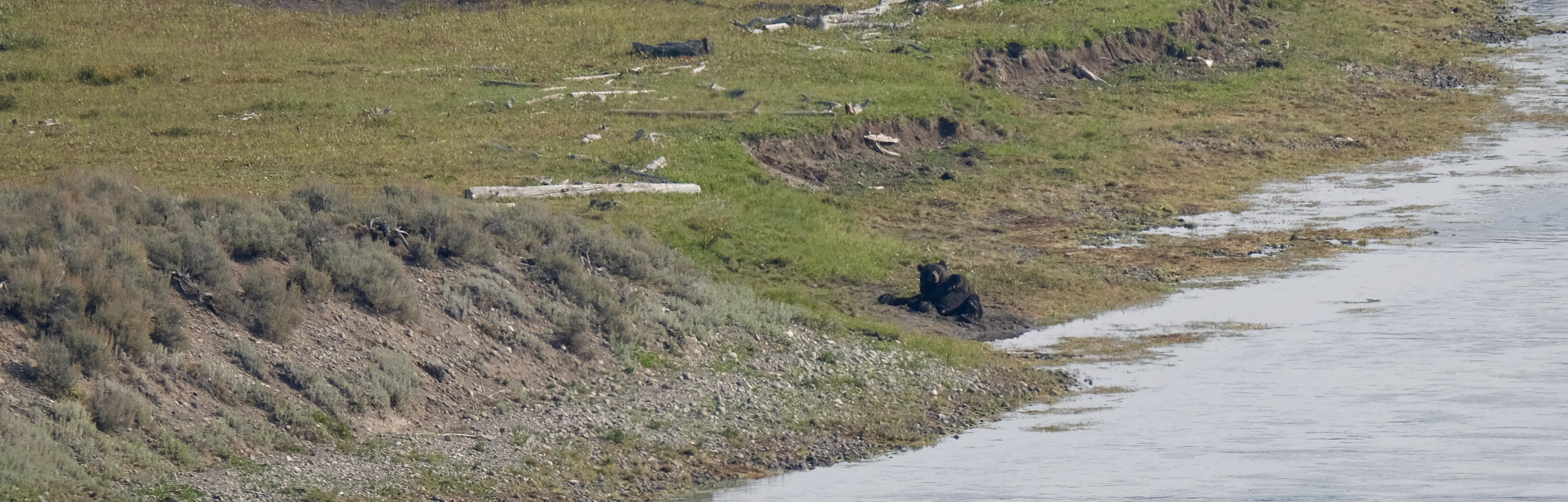 Yellowstone - Heyden Valley- Grizzly