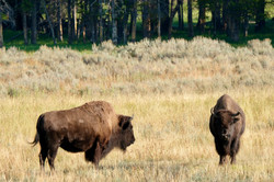 Yellowstone - Heyden Valley - Bisons