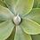 Thumbnail: agave