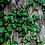 Thumbnail: english ivy