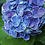Thumbnail: hydrangea