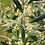 Thumbnail: olive blossom