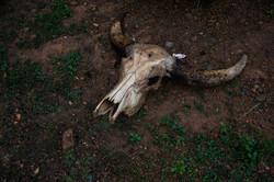 Buffalo Skull Head