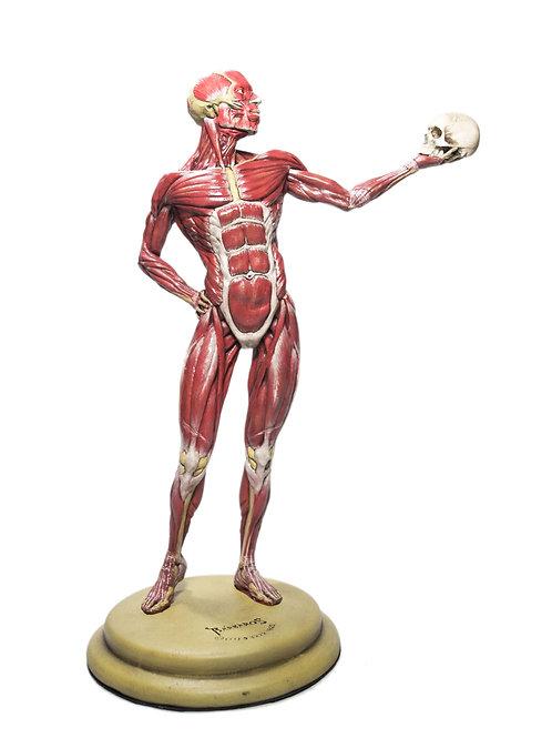 Écorché Anatomia Humana Músculos