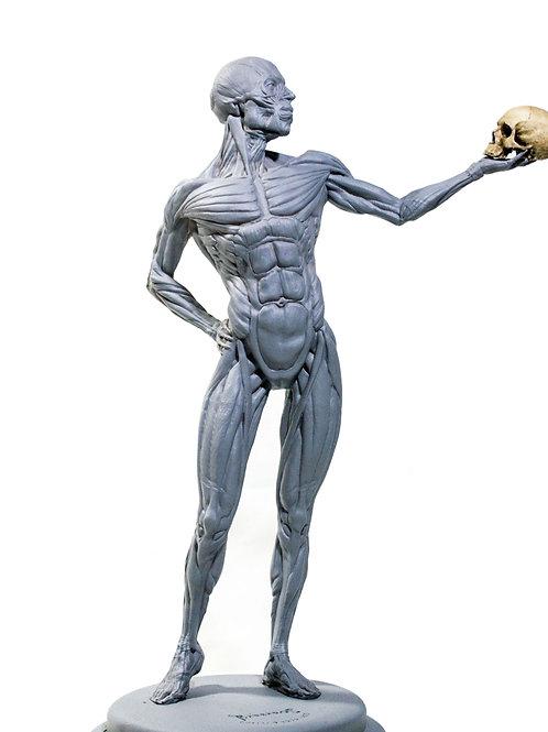 Écorché Anatomia Humana Músculos 34cm
