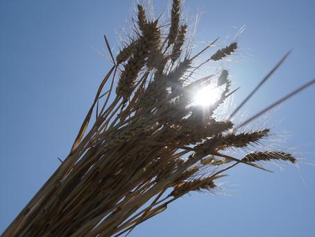 小麦の収穫 2019