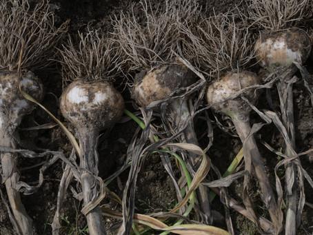 Braid Garlic