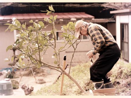 レモンを植える
