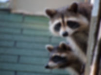 A Pair of Raccoons.jpg