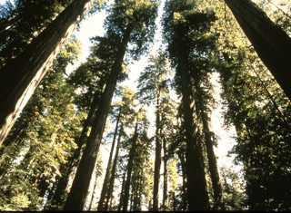 California's Redwood Trees